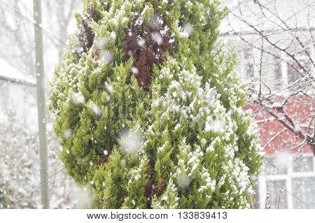 Snowfall on tree on day in Christmas season