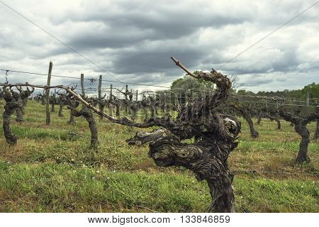 Vine at vineyard in the Loire Valley France