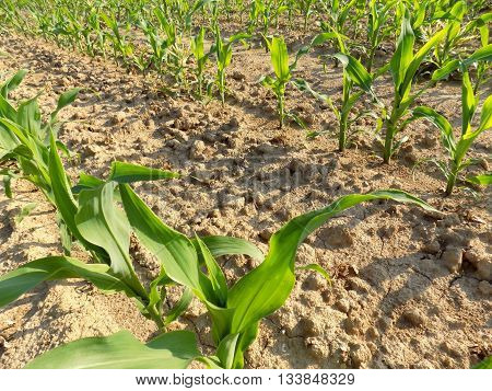 Corn crops on corn field during sunny day