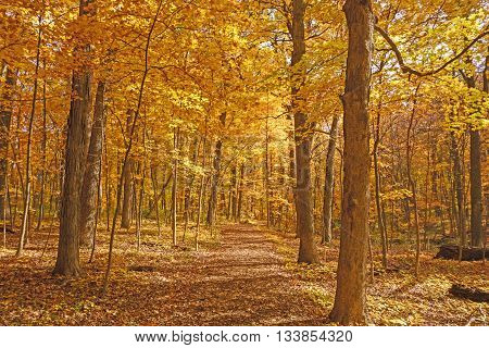 Yellow Path Through the Fall Forest in the Morton Arboretum in Lisle Illinois