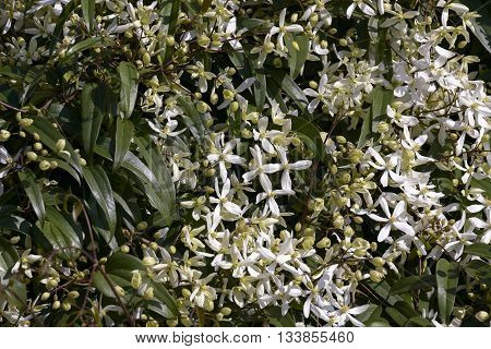bush of white jasmine outdoor for nature background