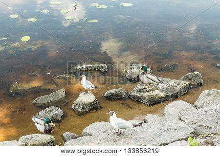 Birds and animals in wildlife. Amazing mallard ducks animal on stone under sunlight view. Animal landscape landscape. Awesome duck animal in wildlife. animal in water.