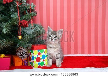 Gray tabby kitten next to a christmas tree with presents on red fuzzy floor striped red and off white background