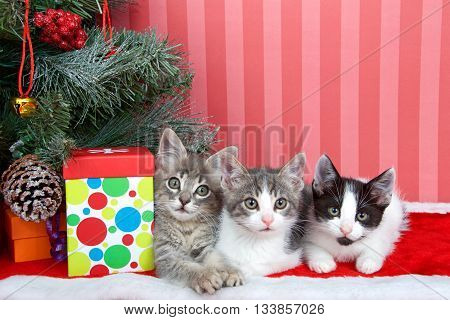 Three tabby kittens next to Christmas tree with presents on red fuzzy floor with red stripped background