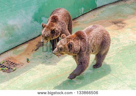 Brown Bears Waiting For Food