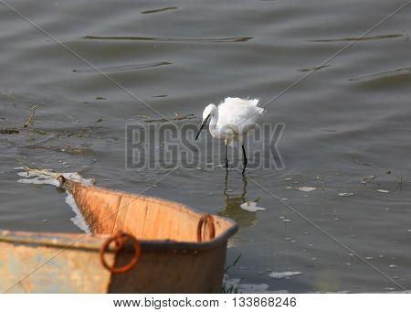 Little egret by old boat in Kolleru lake India