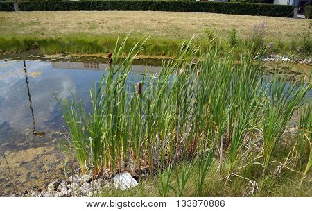 Common cattails (Typha latifolia), also called broadleaf cattail, bulrush, common bulrush, great reedmace, cooper's reed, and cumbungi, grows in a small retention pond in Shorewood, Illinois during August.