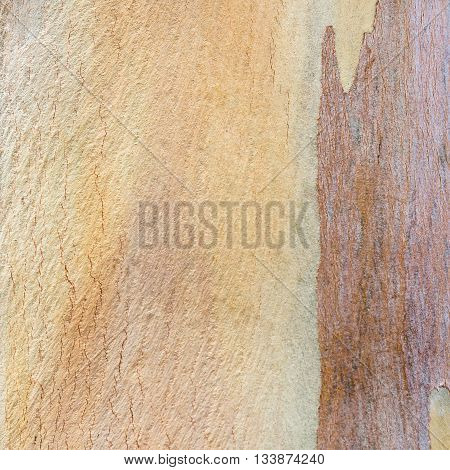 Beautiful eucalyptus tree bark texture and background.
