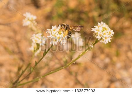 Worker bee gathering pollen from a white flower.