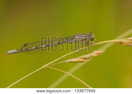 A macro of a common damselfly eating its lunch on a blad of grass seed.