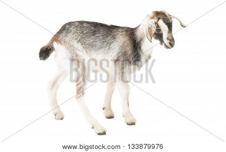 farm little goat isolated on white background