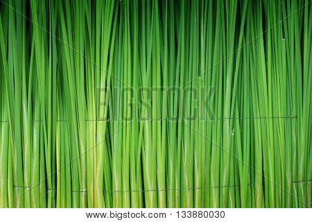 Papyrus leaf green wall for use as background.