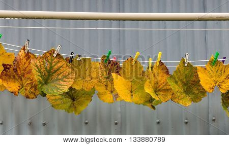 Some grape vine leaves pegged up to dry in the autumn light.