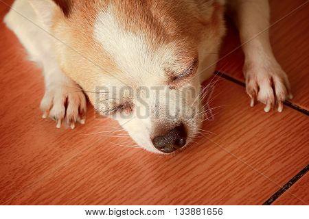 Chihuahua dog breed Sarawasi white cute sleeping.