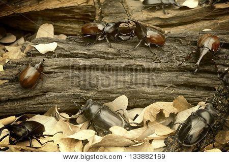 Rhinoceros beetle Rhino beetle Hercules beetle fighting on the old timber