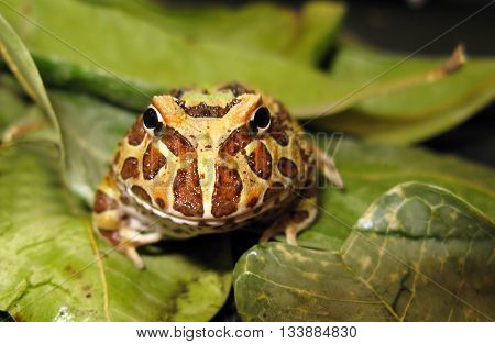 Face to face with Argentine horned frog, or pacman frog with eye contact, green leaf background, and brown and tan pattern.