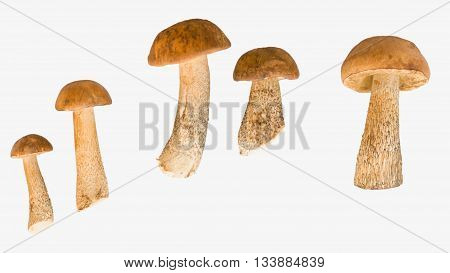Five brown cap boletus isolated on white background
