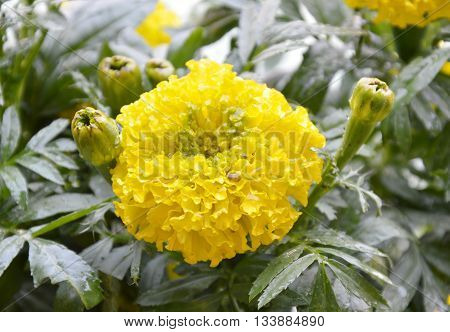 marigold yellow tropical flower in the park