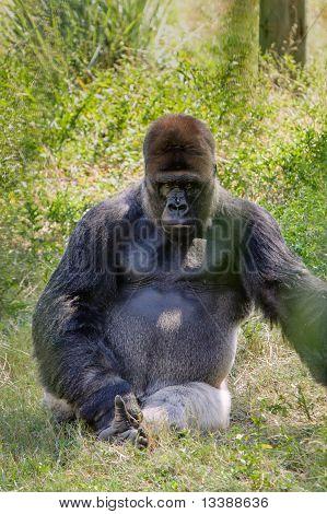 Intimidating Western Lowland Gorilla Staring Seriously