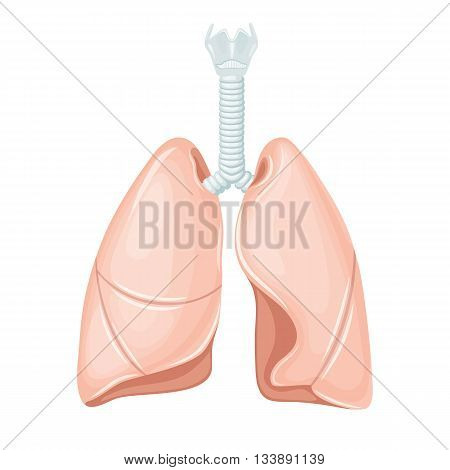 Human lungs anatomy. Lungs medical science vector illustration. Internal human organ: lungs and trachea, bronchi, right and left lobes. Human lungs anatomy education illustration