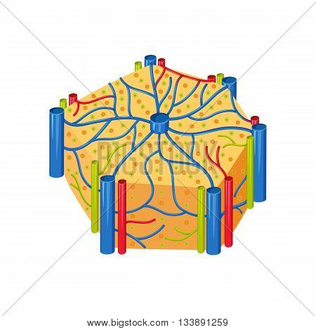 Human liver lobes anatomy. Liver lobes medical science vector illustration. Internal human organ: hepatocytes and canaliculi, hepatic artery, bile duct. Human liver anatomy education illustration