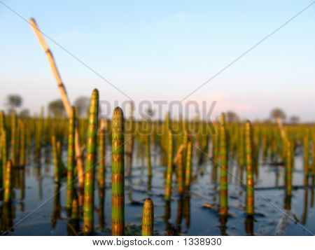 Water Horsetail