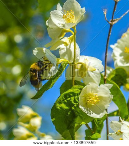 Large shaggy bumblebee on a flower of white Jasmine