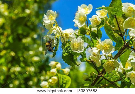Large shaggy bumblebee on a flower of white Jasmine on green background