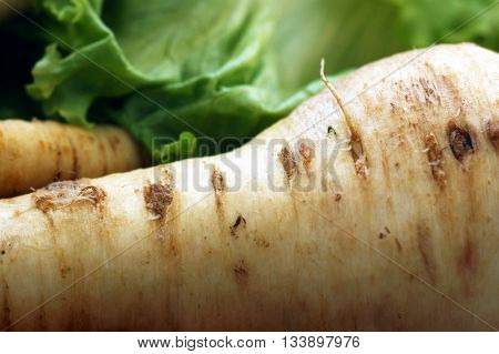 Large white parsley root with lettuce in the background