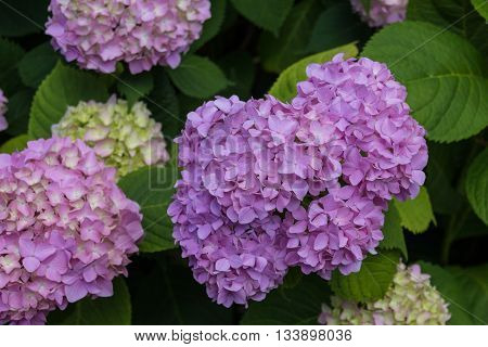 Violet hydrangea flowers. Hydrangea (common names hydrangea or hortensia) is a genus of 70-75 species of flowering plants native to southern and eastern Asia and the Americas.
