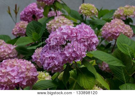 Violet Hydrangea Flowers