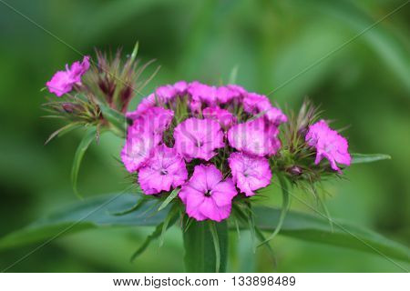 the inflorescence phlox blooming in the garden