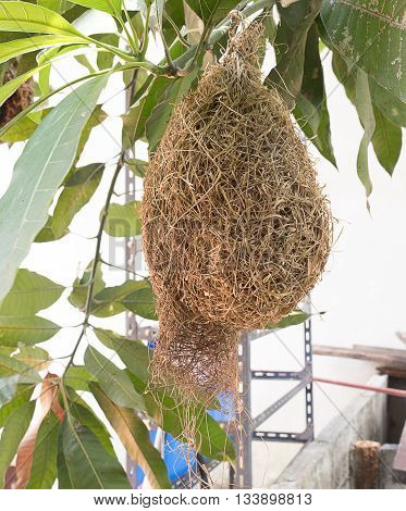 Skylark Nests, weaverbird Nest made of hay ,Skylark nests on branches in the area to come naturally.(select focus front Skylark Nests)