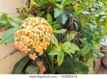 Orange Flower spike, Rubiaceae in a garden, flower, love, women,  Life is the flower for which love is the honey. (select focus front Orange Flower spike)