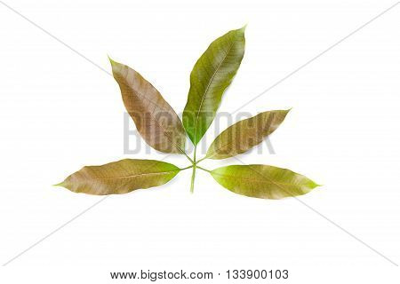Mango leaf isolated on white background, Mango leaf crest mild.