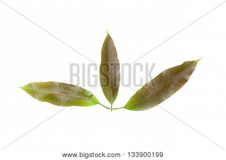 Mango leaf isolated on white background, Mango leaf crest mild.