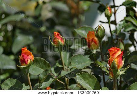 Twig of orange rose-bush with fragrant bud, Sofia, Bulgaria
