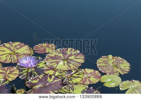 purple Water lily bloom in summer water garden