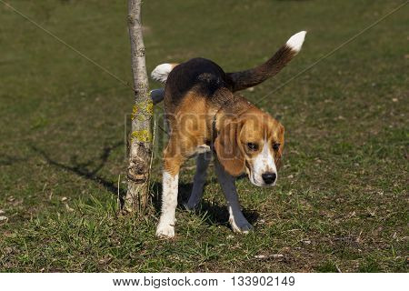 the dog breed beagle is marking territory