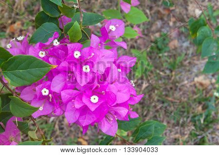 purple bougainvillea and soft-focus background, bougainvillea shrub growing outside on a sunny day in tropical.