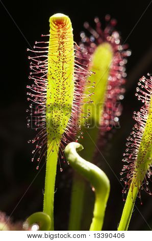 Drosera Capensis, Commonly Known As The Cape Sundew, Is A Carnivorous Plant
