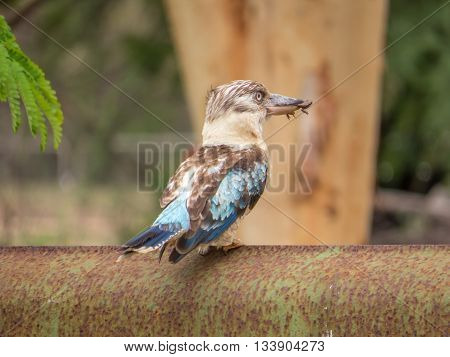blue winged kookaburra closeup with tropical frog in its beak