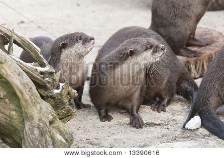 European Otter (lutra Lutra), Eurasian River Otter, Common Otter