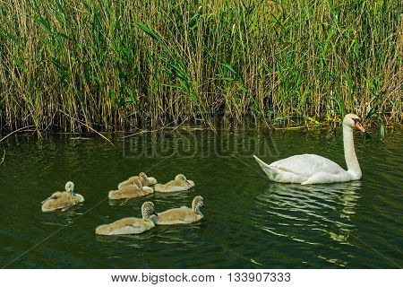 swan with nestlings on the lake. swan family