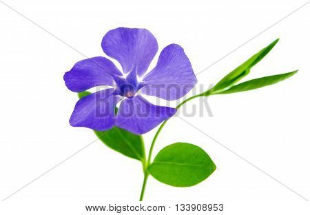 blue flower periwinkle isolated on white background