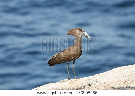 Hamerkop (Scopus umbretta) on rock with fresh water lake in the background