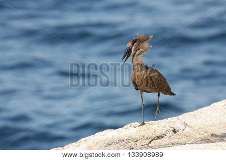 Hamerkop (Scopus umbretta) walking with mouth open