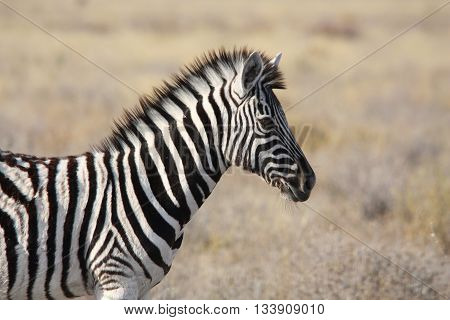 A young Zebra - close up photograph of head