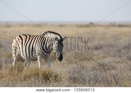 A fully grown Zebra walking in the dry grassland
