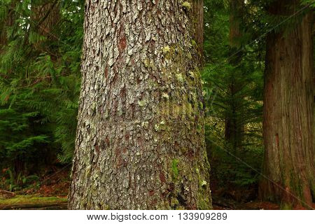 a picture of an exterior Pacific Northwest Old growth Noble fir tree